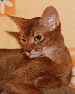 abyssinian cat Paprika aus O Abyssinians