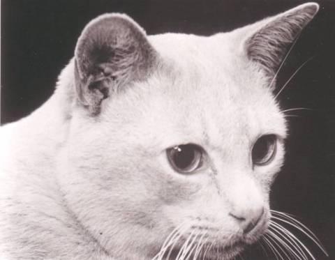 Бурманские кошки история породы в